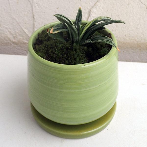 万年青 (おもと):瑞泉 オリーブ陶器鉢植え・受け皿付き