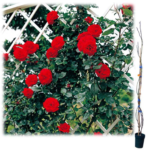 [長尺バラの大苗予約:第二弾]つるバラ:ウルメールムンスター 大苗長尺6号ポット