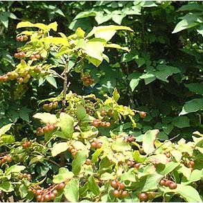 ナツハゼ株立ち根巻き樹高1〜1.2m