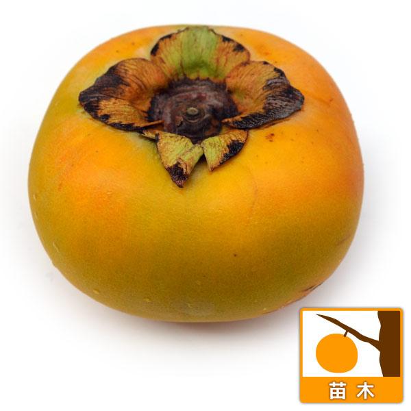 カキ(柿):たいしゅう(太秋)4〜5号ポット[大果の完全甘柿・11月上旬収穫の人気品種]