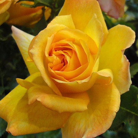 [長尺バラの大苗予約:第二弾]つるバラ:サハラ'98 大苗長尺6号ポット
