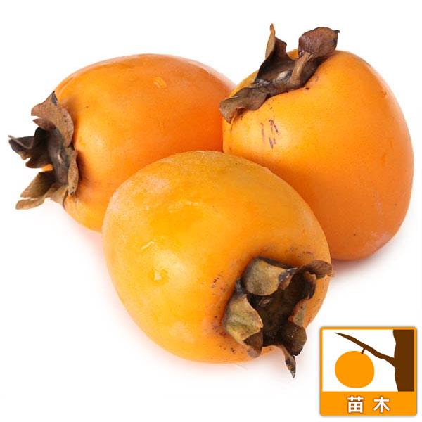 カキ(柿):あたご柿(愛宕柿)4〜5号ポット[完全渋柿・11月下旬収穫 さわし柿に!]
