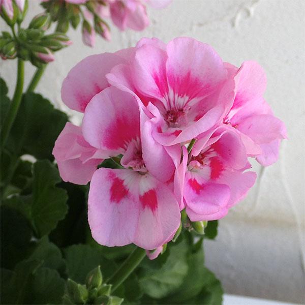 ゼラニウム:アメリカーナライトピンクスプラッシュ5号鉢植え