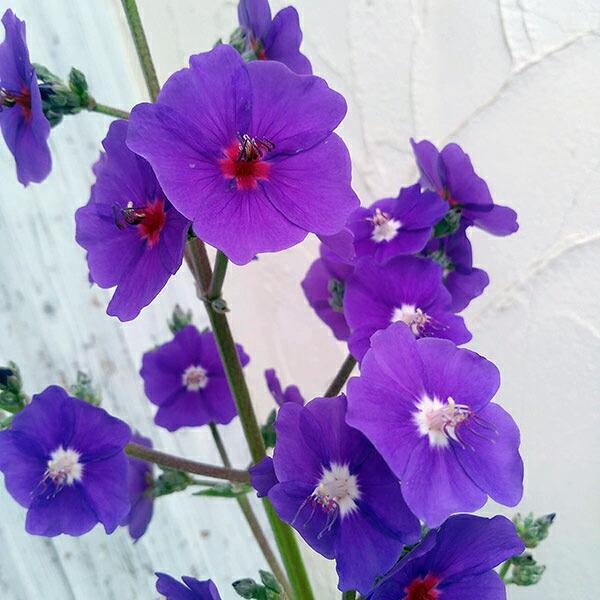 ノボタン:グランディフォリア(穂咲き)6号鉢植え