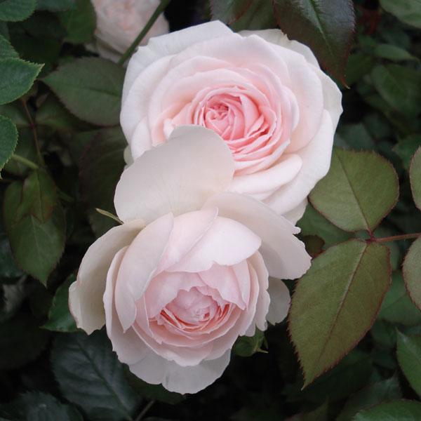 つるバラ:ブラン・ピエール・ド・ロンサール大苗
