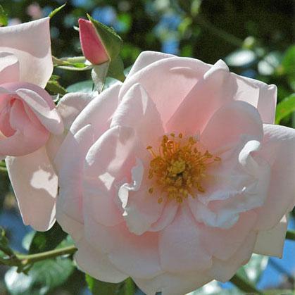 [長尺バラの大苗予約:第二弾]つるバラ:ニュードーン 大苗長尺6号ポット