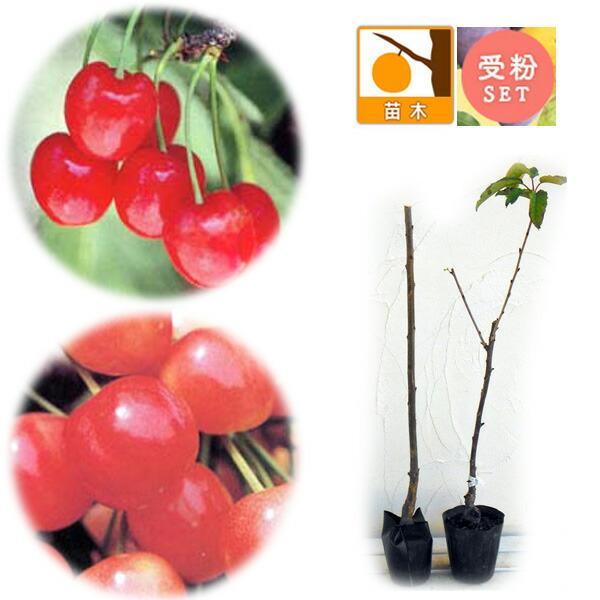サクランボ2種受粉樹セット:なんよう(南陽)とナポレオン接木苗4〜5号ポット