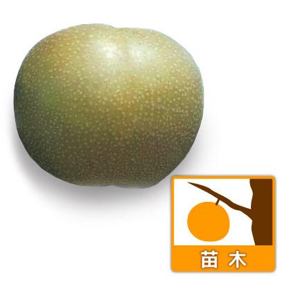 ナシ(梨):あきづき4号ポット