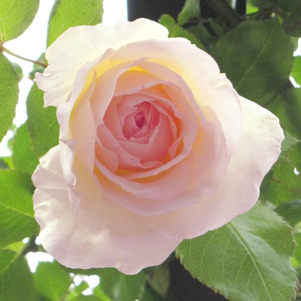 つるバラ:ニュードーン大苗