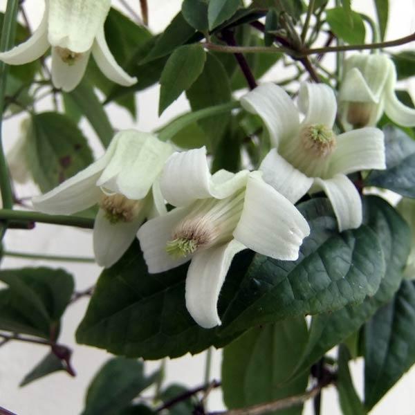 クレマチス:ユンナンエンシス4.5号(常緑系・冬咲)
