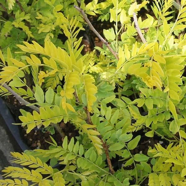 アメリカサイカチ:サンバースト樹高50cm根巻きまたはポット