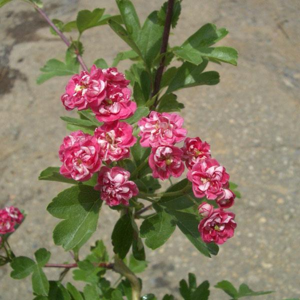 サンザシ:紅花サンザシ6号ポット