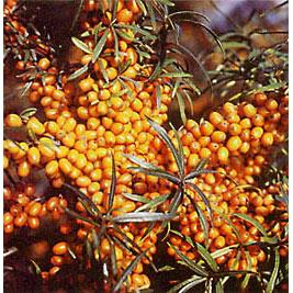 シーベリー受粉樹セット:アスコラとオス木のセット