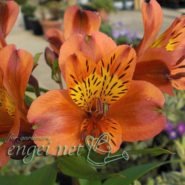 ガーデンアルストロメリア:オレンジパーフェクション3.5号ポット
