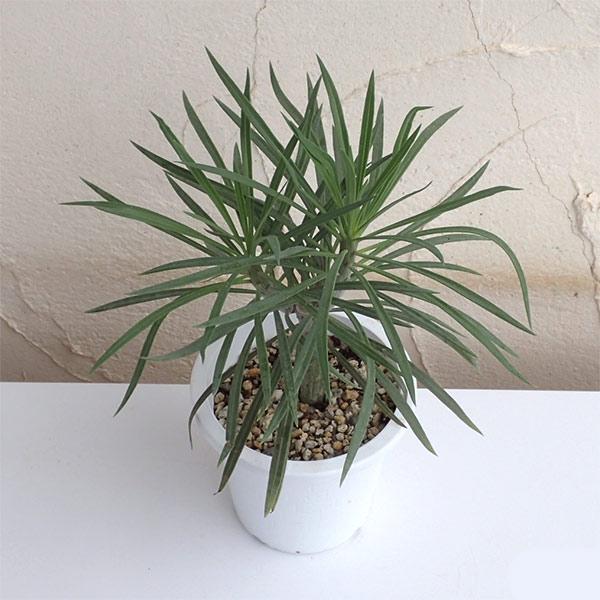 セネシオ クレイニア(モンキーツリー)4号鉢植え