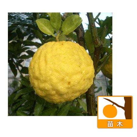 シシユズ(獅子柚子)4〜5号ポット