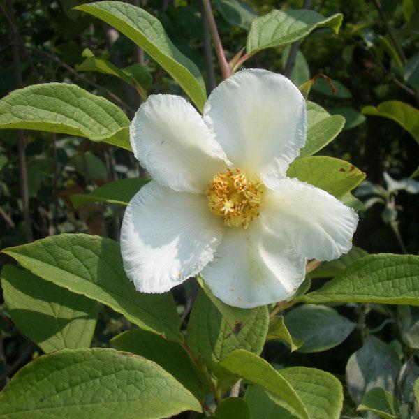ナツツバキ(夏椿・シャラ):白花4.5号ポット