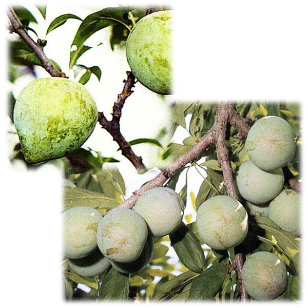 スモモ(プラム)2種受粉樹セット:ケルシージャパンとソルダム