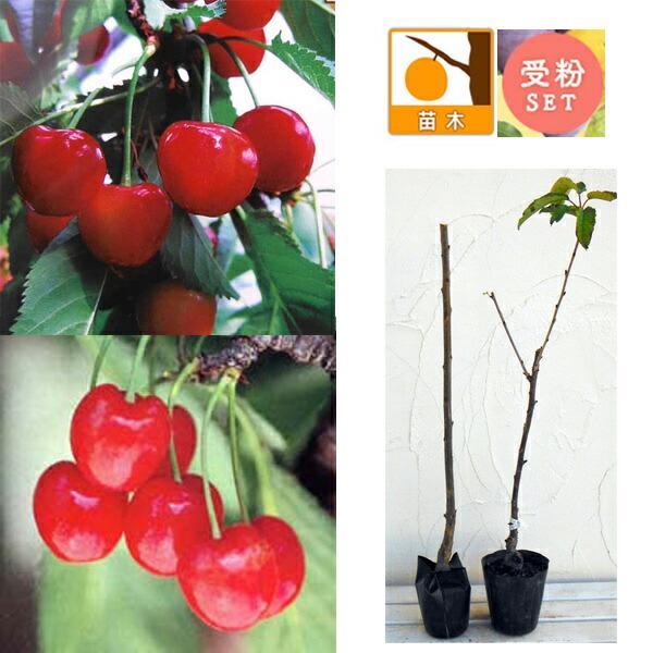 サクランボ2種受粉樹セット:べにしゅうほう(紅秀峰)とナポレオン接木苗4〜5号ポット