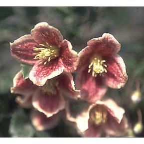 クレマチス:日枝(ヒエ)4.5号ポット(冬咲き・シルホサ系)