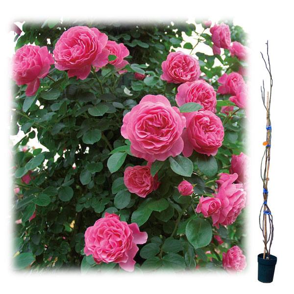 [長尺バラの大苗予約:第二弾]つるバラ:レオナルド ダ ビンチ大苗長尺6号ポット
