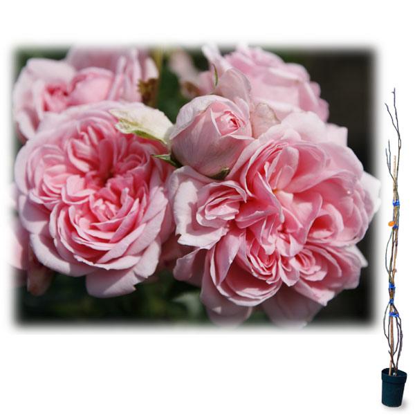 [長尺バラの大苗予約:第二弾]つるバラ:シンデレラ 大苗長尺6号ポット