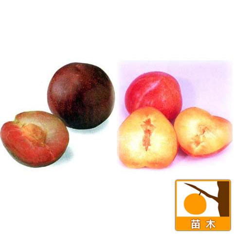 スモモ(プラム)2種受粉樹セット:ソルダムとサンタローザ