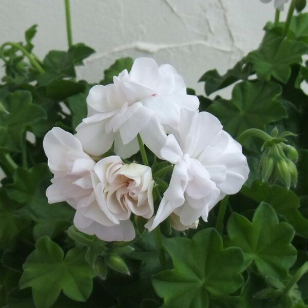 アイビーゼラニウム:ホワイトパ−ル6号鉢植え