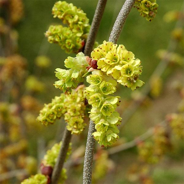 トサミズキ:ニオイトサミズキ樹高1.2m根巻きまたは地中ポット