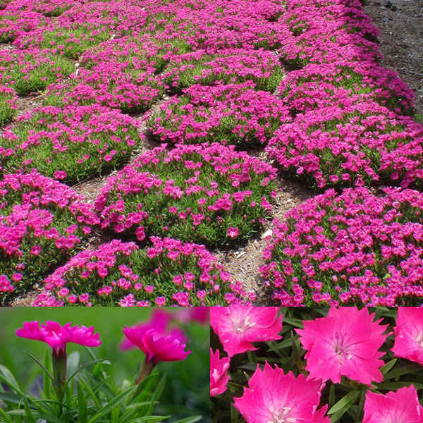 ナデシコ花はなローズ3号ポット12株セット