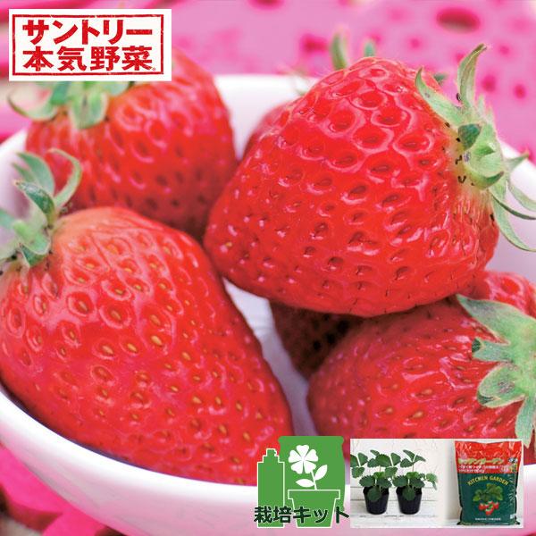 いちごのかんたん栽培セット(鉢無しでできる):イチゴ:ドルチェベリー