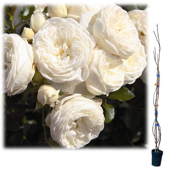 [長尺バラの大苗予約:第二弾]つるバラ:アルテミス大苗長尺6号ポット