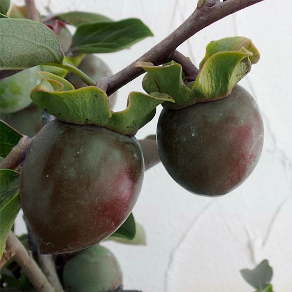 カキ(柿):クロガキ(黒柿)4〜5号ポット