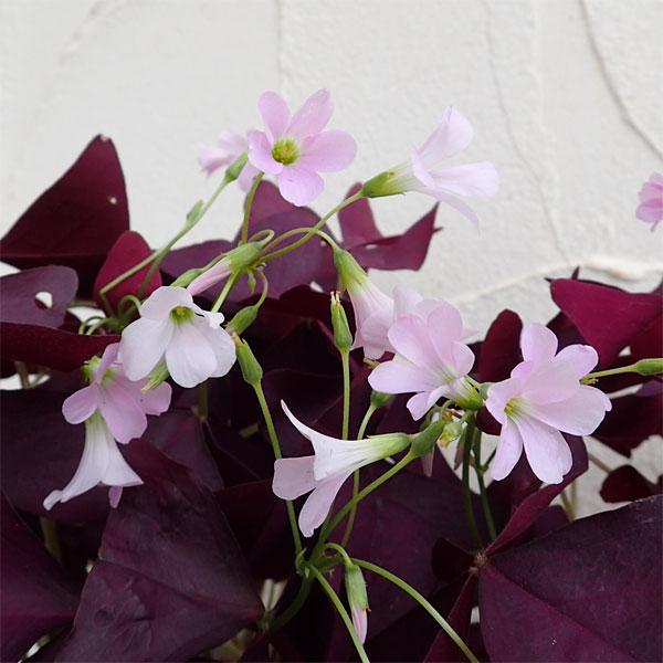 オキザリス トリアングラリス 紫の舞 3.5号ポット2株セット