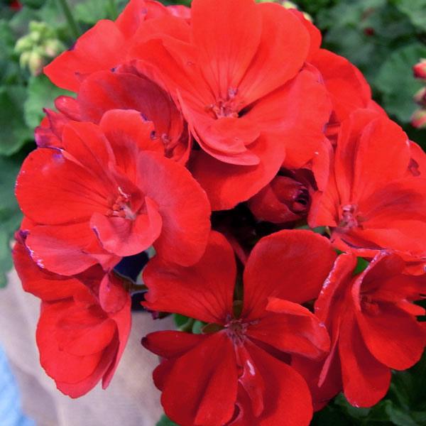 ゼラニウム:アメリカーナディープレッド5号鉢植え
