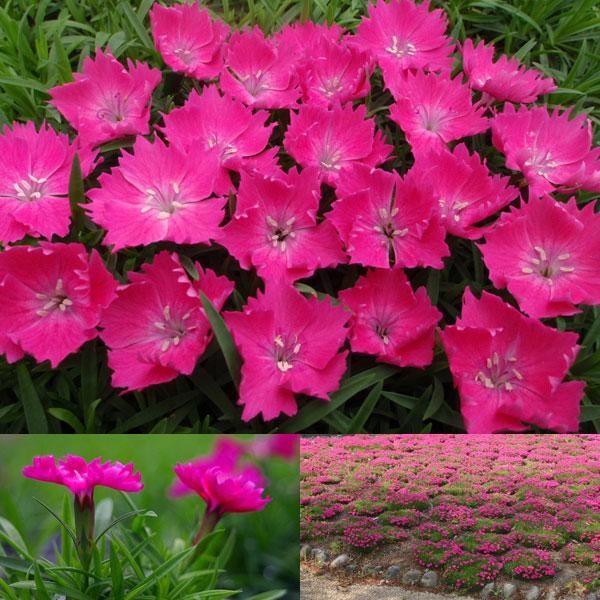 ナデシコ:花はなローズ3号ポット