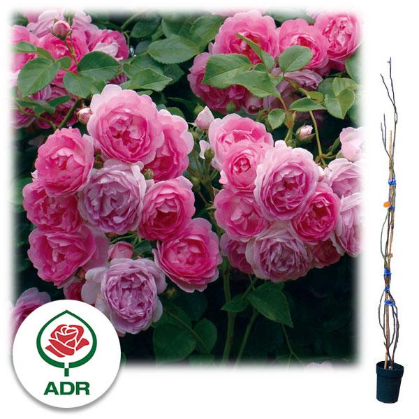 [長尺バラの大苗予約:第二弾]つるバラ:ジャスミーナ 大苗長尺6号ポット