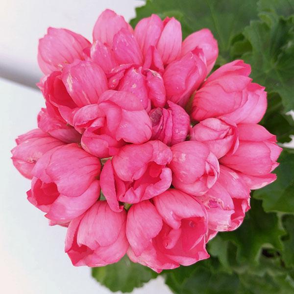 チューリップ咲きゼラニウム:ピンクパンドラ5号鉢植え