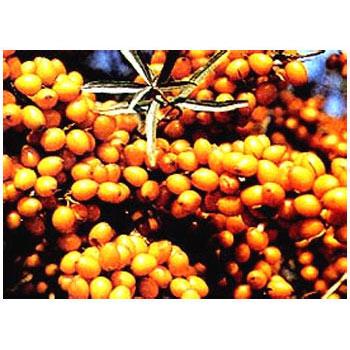シーベリー受粉樹セット:フルガナとオス木のセット