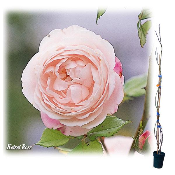 [長尺バラの大苗予約:第二弾]つるバラ:マダム・ピエール・オジェ 大苗長尺6号ポット