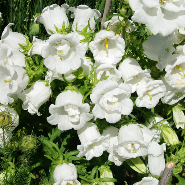 カンパニュラ:八重咲き ホワイト3号ポット2株セット
