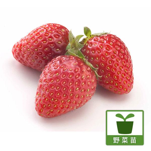 イチゴ:ほうこうわせ(宝交早生)3号ポット3株セット