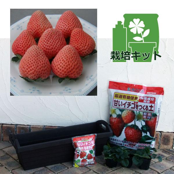 いちごプランター栽培セット:イチゴ:とうくん(桃薫)3株セット