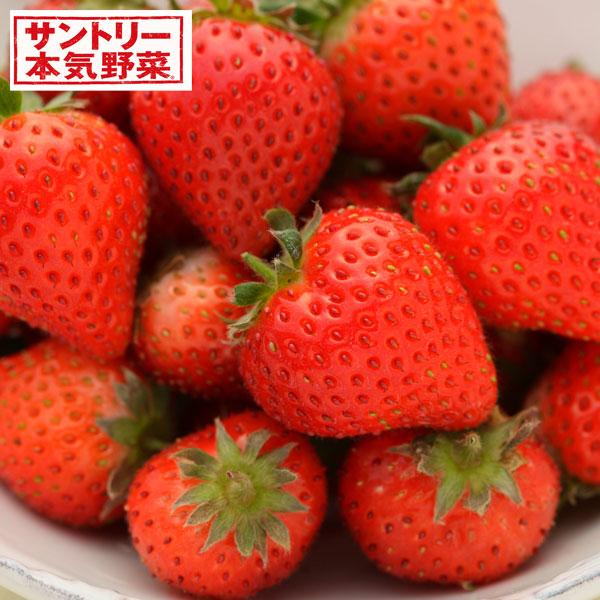 イチゴ:蜜香(みつか)3号ポット3株セット