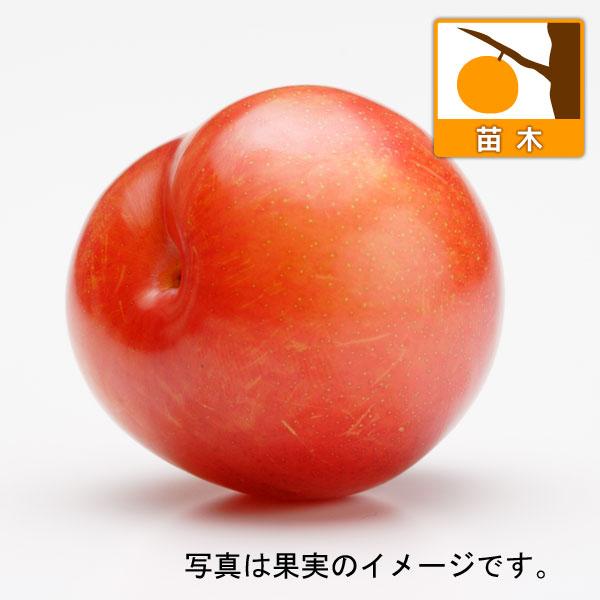 スモモ(プラム):秋姫(あきひめ)4.5号ポット