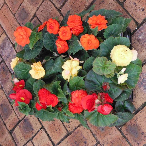 おためし3種12株セット:フォーチュンベゴニア3色(オレンジ・赤・黄)