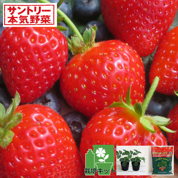 いちごのかんたん栽培セット(鉢無しでできる):イチゴ:らくなりイチゴ
