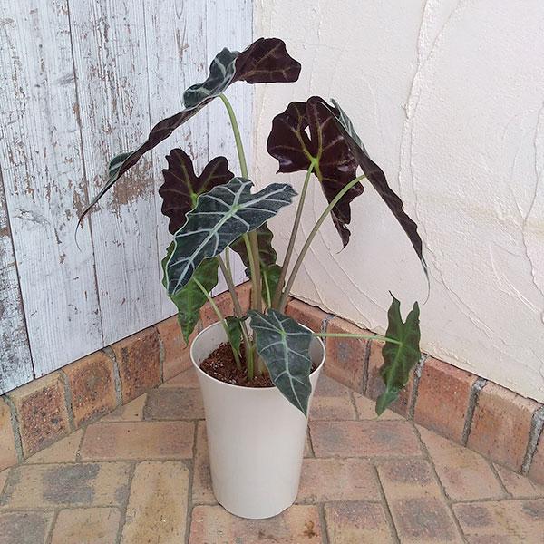 アロカシア:アマゾニカ・ポリー7号鉢植え