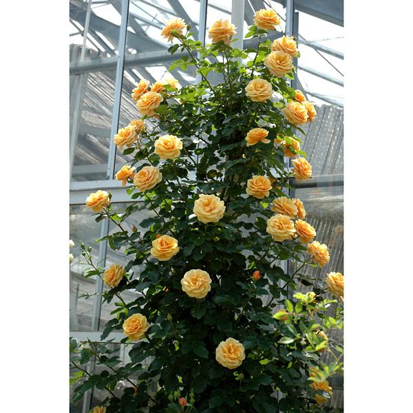 [長尺バラの大苗予約:第二弾]つるバラ:スターチェイサー大苗長尺6号ポット