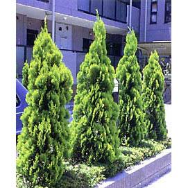 タチコノテ(コノテガシワ):エレガンティシマ樹高1.2m根巻き